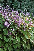 Bégonia en fleur dans un jardin
