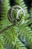 Leafing of tree fern in a garden