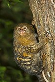 Pygmy Marmoset on a tree