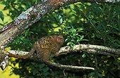 Pygmy Marmoset adult on a branch