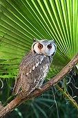 Southern white-faced Scops-Owl on a branch Etosha NP Namibia