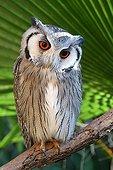 White-faced Scops-Owl on a branch Etosha NP Namibia