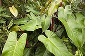 Philodendron leaves in New Caledonia