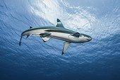 Blacktip Reef Shark Moorea in French Polynesia