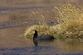 Giant Coot male bringing plant fragments to make the nest ; Elevation : 4450 m