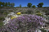 Thym en fleurs dans la garrigue Provence France