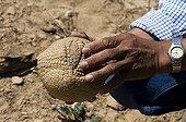 Southern three-banded Armadillo in hand Gran Chaco Bolivia