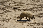 Southern three-banded Armadillo walking Gran Chaco Bolivia