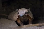 Southern three-banded Armadillo at night Gran Chaco Bolivia