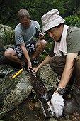 Observation de Salamandre géante du Japon ; Le professeur Sumio Okada s'est intéressé à l'existence des différentes classes d'âges dans un même cours d'eau et tente de comprendre quels sont les critères qui font d'un cours d'eau un lieu favorable à la reproduction et au développement des salamandres. Grâce à la télémétrie les mouvements des animaux sont consignés et analysés.