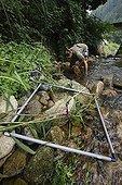 Observation de Salamandre géante du Japon dans une rivière ; Le professeur Sumio Okada s'est intéressé à l'existence des différentes classes d'âges dans un même cours d'eau et tente de comprendre quels sont les critères qui font d'un cours d'eau un lieu favorable à la reproduction et au développement des salamandres. Grâce à la télémétrie les mouvements des animaux sont consignés et analysés.