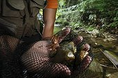 Etude des Salamandres géantes du Japon dans une rivière ; Les crabes de rivières sont un élément clef dans les écosystème qui abrite les salamandres. <br>Le professeur Sumio Okada s'est intéressé à l'existence des différentes classes d'âges dans un même cours d'eau et tente de comprendre quels sont les critères qui font d'un cours d'eau un lieu favorable à la reproduction et au développement des salamandres. Grâce à la télémétrie les mouvements des animaux sont consignés et analysés.