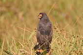 Snail Kite crying in the grass Pantanal Brazil