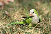 Monk Parakeet in the grass Pantanal Brazil