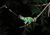 Jackson's chameleon catching a cricket male Madagascar