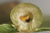 Parasitoid in gall of Wasp gall on Downyoak ; spring generation