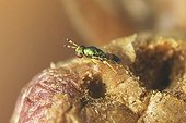Parasitoid emerging from Gall on Downy oak  ; 2 mm length