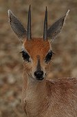 Portrait of Cape Grysbok in savannah Kruger South Africa