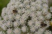 Flies on Woodland angelic flowers