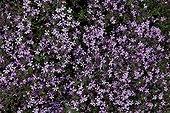 Rock Soapwort Provence France