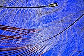 Feather Red-bellied Woodpecker ; Rheinberg illumination, 20 x Canon EOS 450D 12 million pixels.