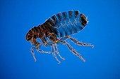 Cat fleas female on blue background ; Rheinberg illumination, 20 x Canon EOS 450D 12 megapixel
