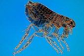 Cat fleas male on blue background ; Rheinberg illumination, 20 x Canon EOS 450D 12 megapixel