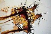 Body ovipositor Fly