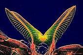 Body ovipositor SawFly ; Rheinberg illumination, 40 x Canon EOS450D 12 million pixels.