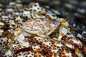 Harlequin Crab on Sea Cucumber Tahiti French Polynesia