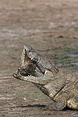 Nile crocodile swallowing the jaw of a fellow Kruger NP