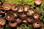 Fluted bird's nests on moss France