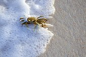 Horned ghost crab on sea shore Cousine Island Seychelles