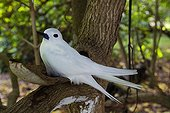 Common White Tern on a branch  Seychelles