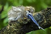 Common White Tern chick swallowing a fish  Seychelles