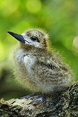 Common White Tern chick on a branch Seychelles
