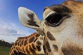 Portrait of Rothschild Giraffe Giraffe Manor Kenya