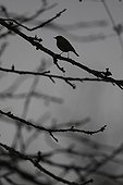 Silhouette robin on a branch at dusk