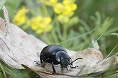 Beetle on a dead leaf