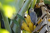 Red-crowned woodpecker on a Banana in Colombia
