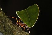 Leaf cutter ant carrying leaves in Colombia