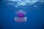 Jellyfish drifting off Rangiroa Tuamotu