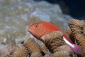 Arc-eye Hawkfish on Staghorn Coral RangiroaTuamotu