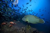 Humphead Wrasse Red Snappers eating spawning triggerfish