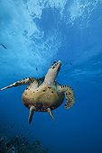 Hawksbill turtle back to the surface to breathe Rangiroa