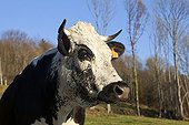 Vosges Cow in the meadow Munster Valley Vosges France