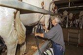 Milking of cows in an organic farm Jura France