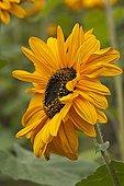 Sunflower in a garden