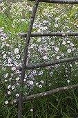 Asters 'Vasterival' in bloom in a garden