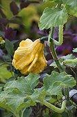 Colocynth in a kitchen garden